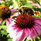 Echinacea Attraction by shutterbug2010