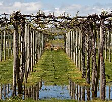 Grape Vines - Marlborough  by Geoff Hunter