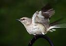 Flight of the Mockingbird by Bonnie Robert