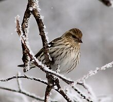Pine Siskin by Larry Trupp
