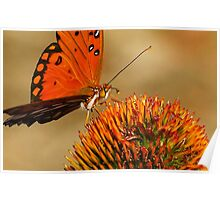 Monarch or is it a Painted Lady...?? at sunset on a Cone Flower..ok found it it's a  Gulf Fritillary Poster