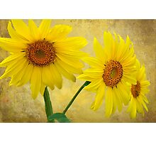 Sunflower Trio Photographic Print