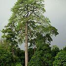 Giant tree, Bogor, West Java by Tim Coleman