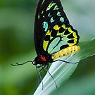 Cairns Birdwing Butterfly by Jenny Dean