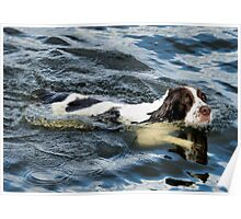 Swimming Springer Poster