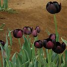 Tulips..Queen Of The Night Variety by judygal