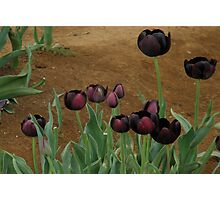 Tulips..Queen Of The Night Variety Photographic Print