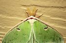 Luna Moth by elasita