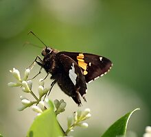 Spotted a Silver Spotted Skipper by WalnutHill
