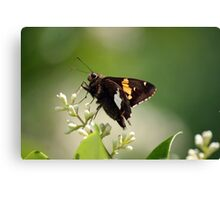 Spotted a Silver Spotted Skipper Canvas Print