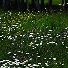 ...and daisies by lumiwa