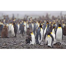 King Penguin Gathering Photographic Print