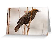 MALE RED-WINGED BLACKBIRD ( immature) Greeting Card