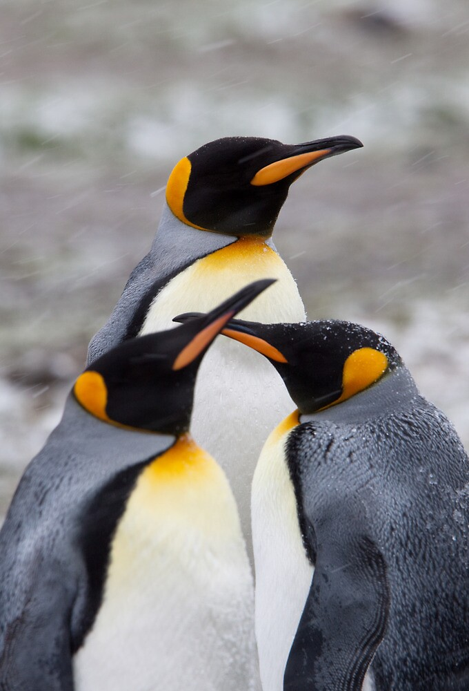 Trio of Penguins by tara-leigh