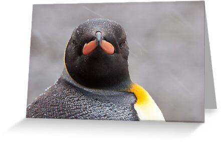 King Penguin Stare by tara-leigh