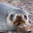 Antarctica Fur Seal by tara-leigh