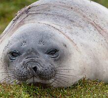 Elephant Seal by tara-leigh