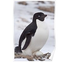 Adelie Penguin on Eggs Poster