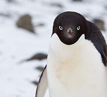 Adelie Penguin by tara-leigh