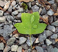 Poplar Leaf by elasita