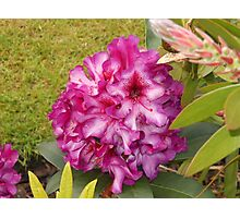 Beautiful Pink Rhodo Blossom Photographic Print