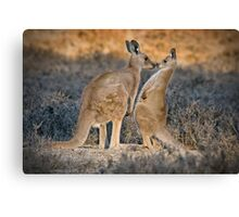 Kissing Kangaroos Canvas Print