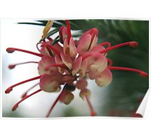 Pink Grevillea - NSW Poster