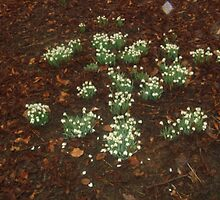 Sequence to 'Friends are like snowdrops' (poem attached) by marieangel