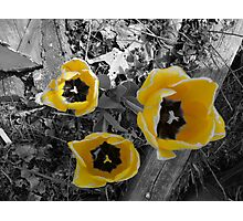 yellow tullip B&W Photographic Print