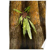 Growth on the Cypress Tree Poster
