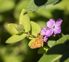 Indian Skipper by Thomas Young