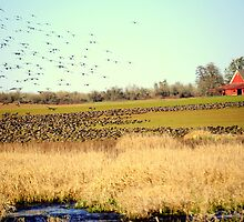 Canadian Geese Migration by scenebyawoman