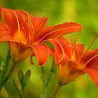 Day Lilies in the Evening  by lorilee