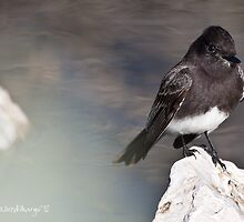 Black Phoebe (cropped) by WiredMarys