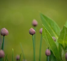Summertime Chives by Annie Lemay  Photography