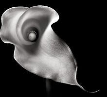 Calla Lily in Black and White by Endre