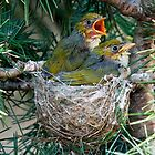 Chick Silvereyes by Russell Spence