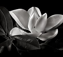 Magnolia in Black and White by Endre
