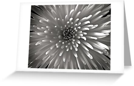 Chrysanthemum in Black and White by Endre