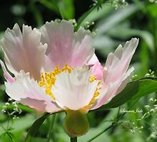 A Single Form Peony Called Horizon by SummerJade