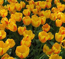 Yellow Tulips by TheJetSetter