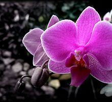 SELECTIVE COLOURED PHALEANOPSIS by Johan  Nijenhuis