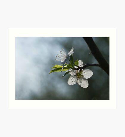 blooming apple-tree Art Print