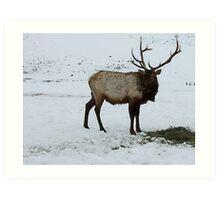 Elk in Winter ~ Hardware Ranch, Utah Art Print