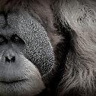 orangutan by Dave Cauchi