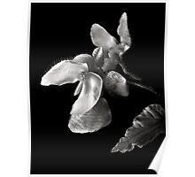 Begonia in Black and White Poster