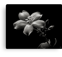 Spicy Jatropha in Black and White Canvas Print