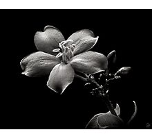 Spicy Jatropha in Black and White Photographic Print