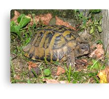 A Conversation with an Eastern Hermann's Tortoise Canvas Print
