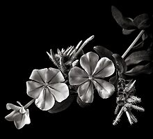 Plumbago in Black and White by Endre